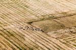 Овце в полето