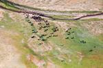 Стадо крави на водопой край Копринка
