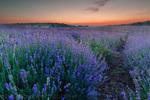 Виолетово поле по здрач