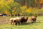 Братството на овцете