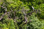 Чапла кацнала на дърво