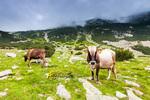 Пиринско говедо