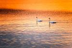 Лебеди по залез в морето край Сарафово
