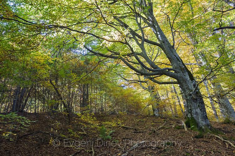 Красива букова гора край Амбарица