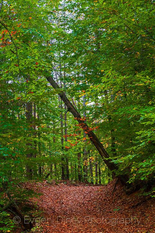 Червен горски килим
