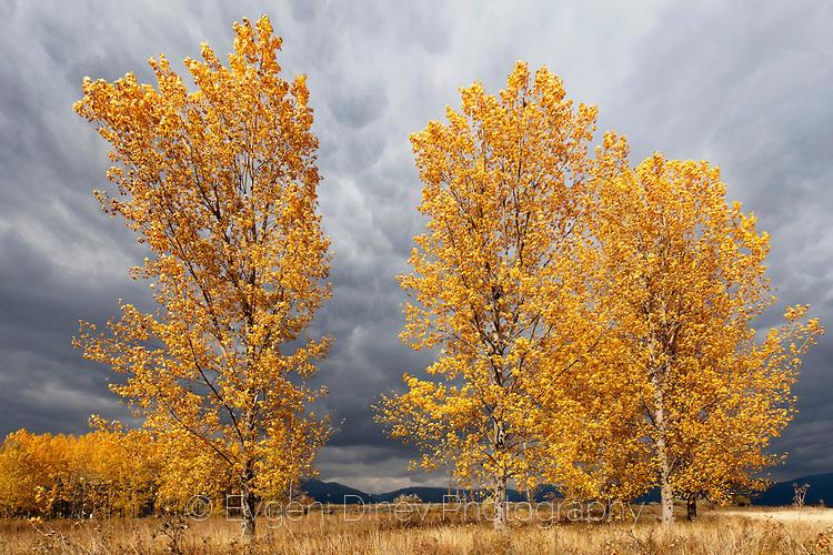 Есенни тополи
