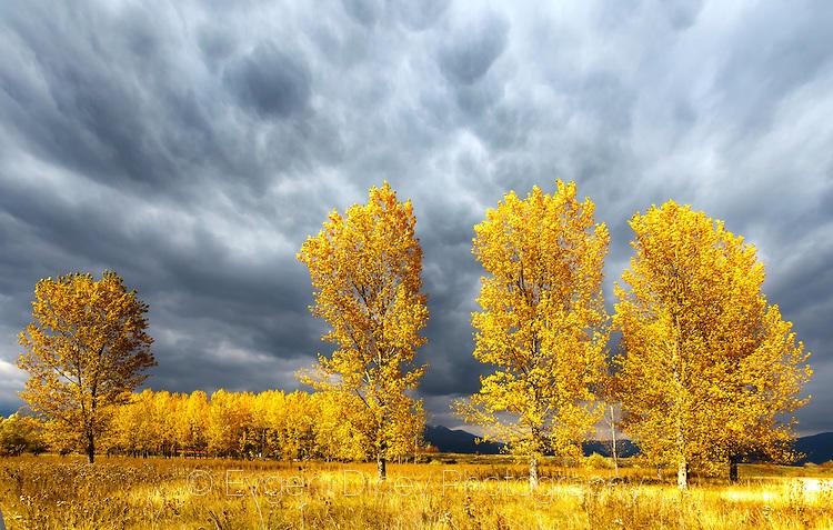 Жълти тополи
