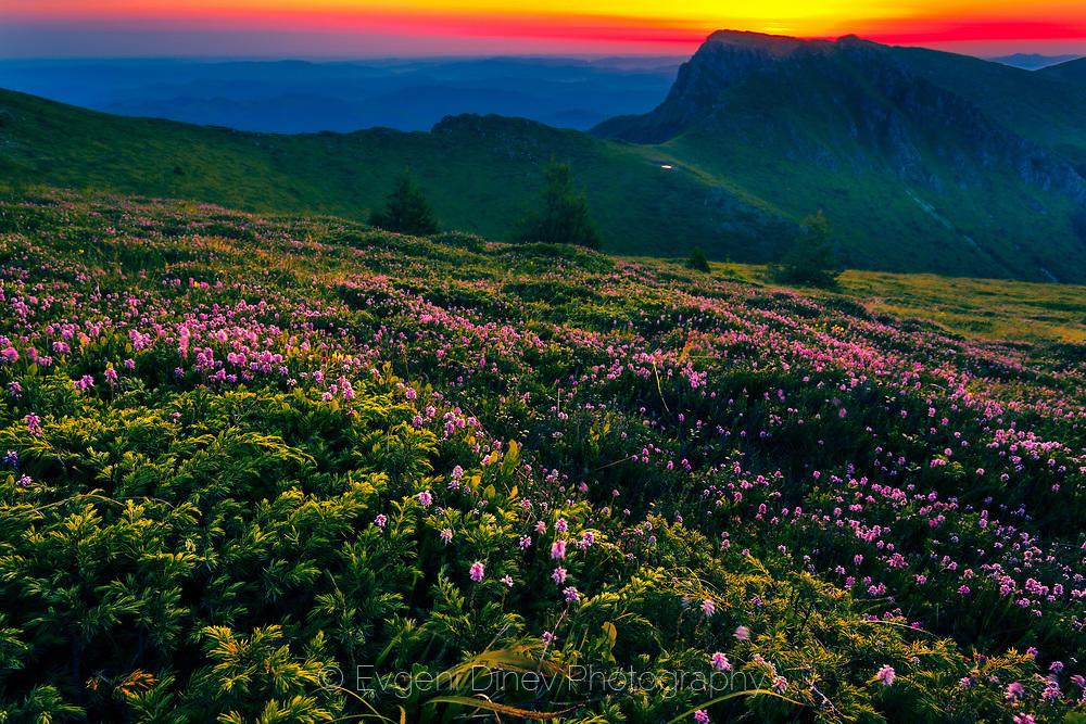 Старопланински пейзаж с лилави цветчета край Козя стена по изгрев