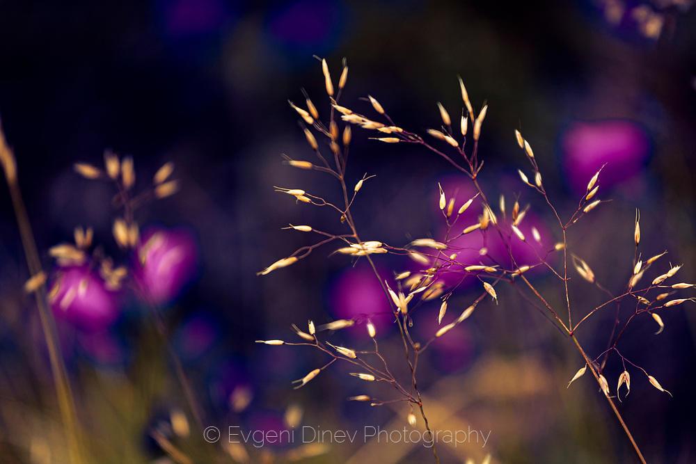 Летни старопланински цветчета