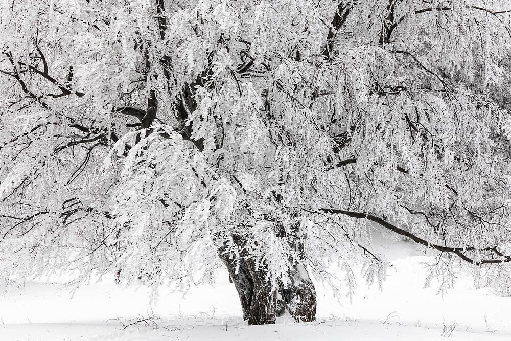Огромно дърво покрито със сняг
