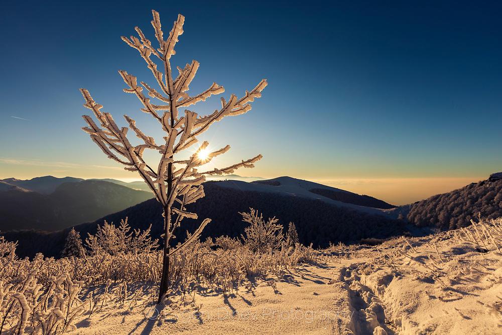 Бяло дръвче