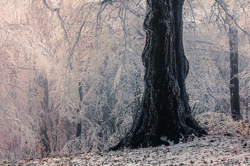 Бяло дърво