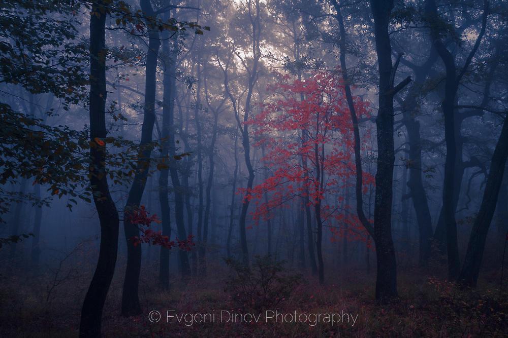 Крехко дърво с червени листа в мрачен лес