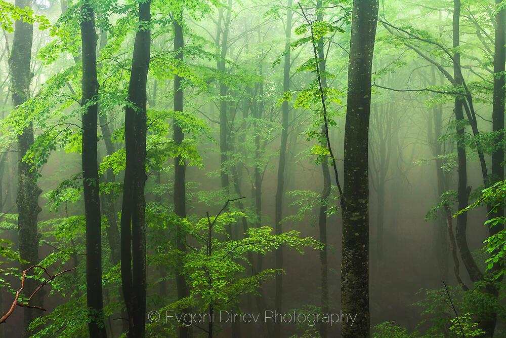 Свежа мъглива гора