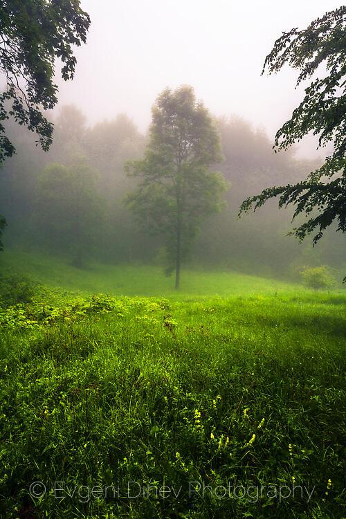 Дърво в средата на мъглива поляна