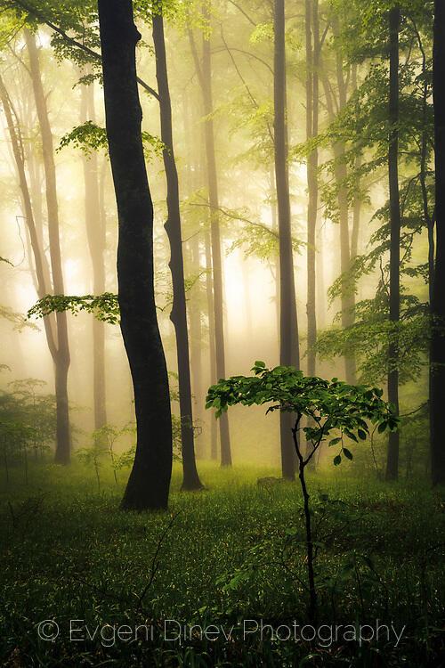 Мъглива букова гора