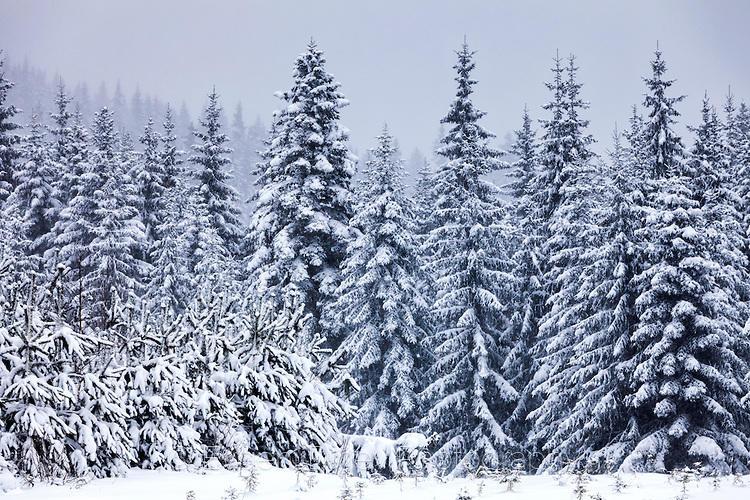 Снежна борова гора край Белмекен
