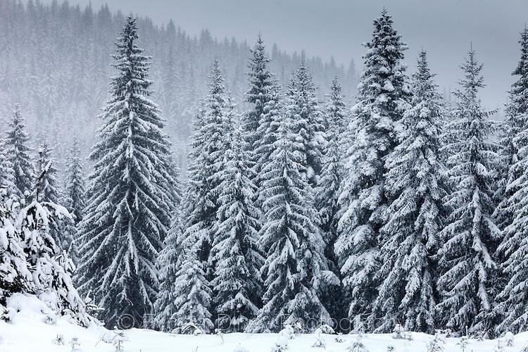 Снежна борова гора край Юндола