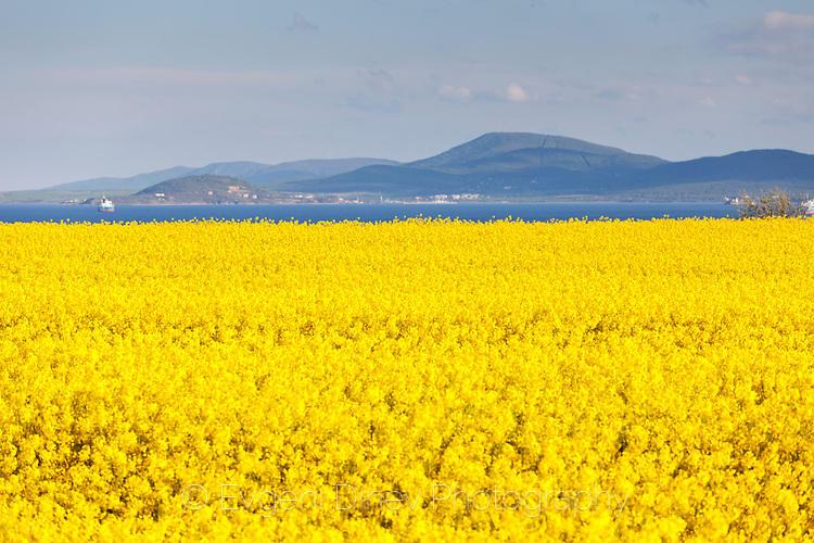 Жълто море