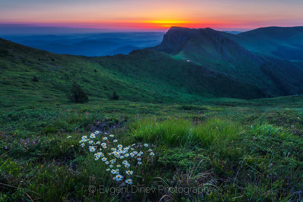 Бели маргаритки в зелената планина