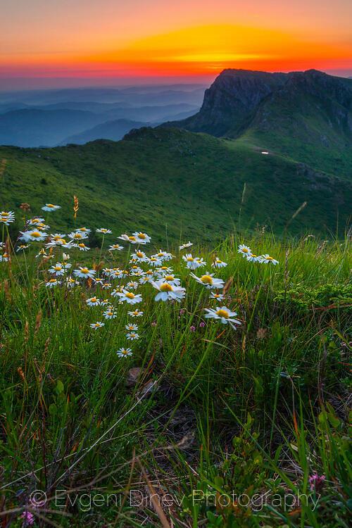 Пейзаж с маргаритки в планината