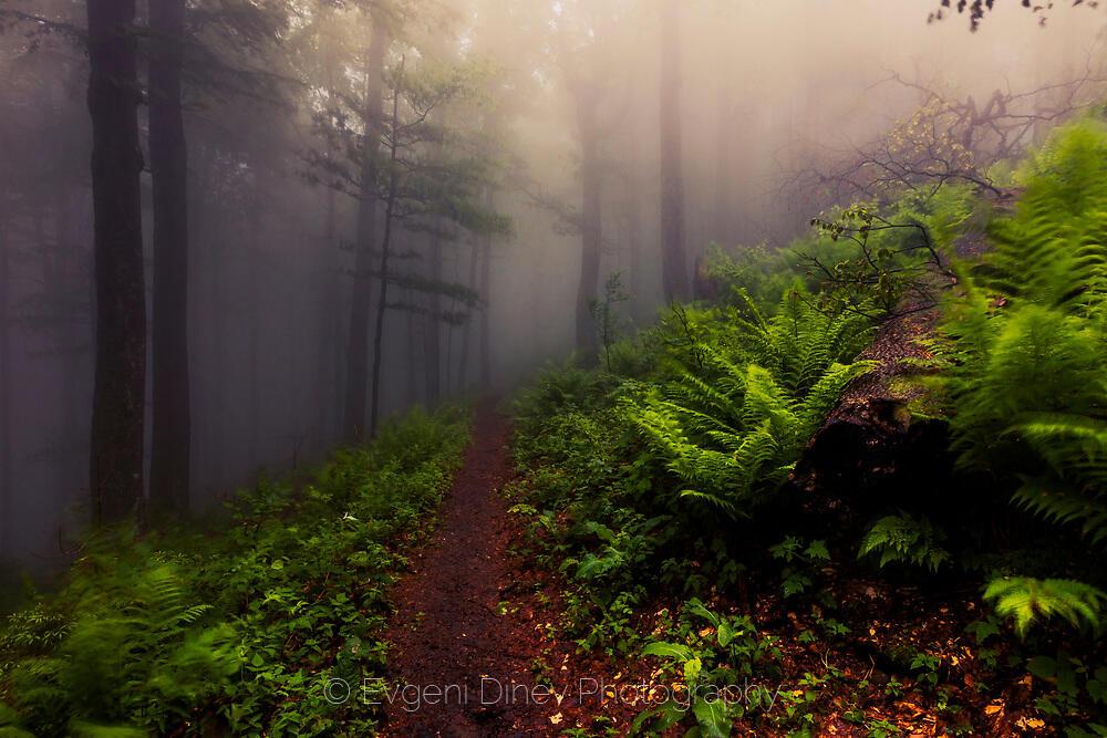 Мъглива букова гора в Стара планина на пролет