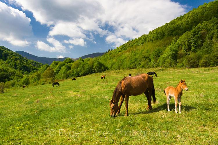 Конче и кобила