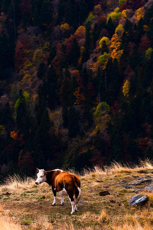 Крава в Балкана