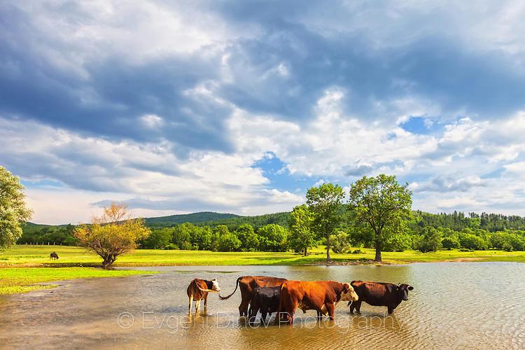 Стадо крави се охлаждат в язовир