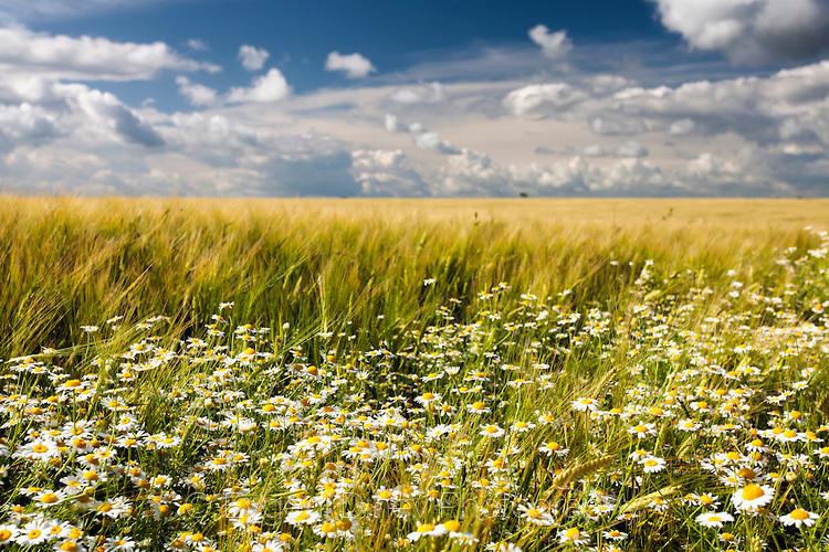 Маргаритки и жито