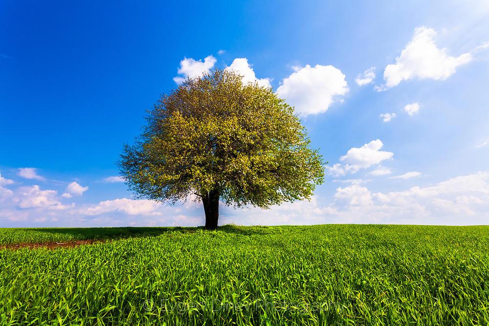 Зелено плодно дръвче