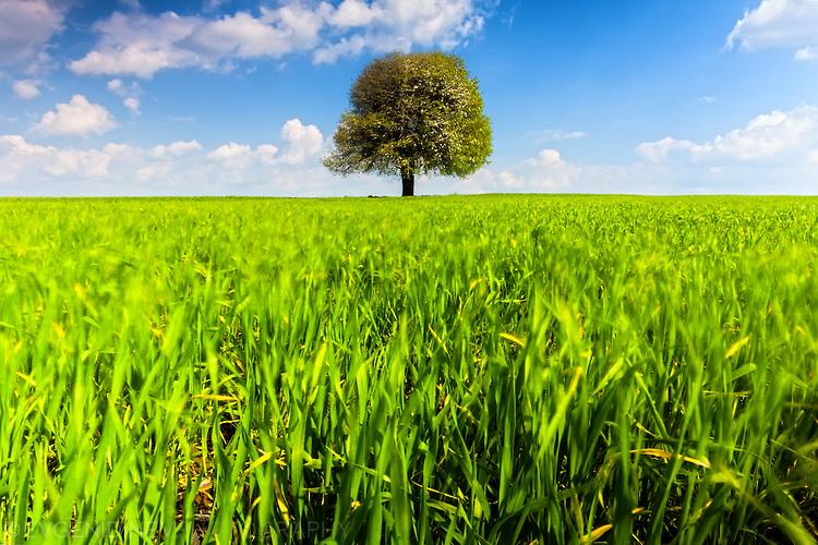 Вятър в млада пшеница