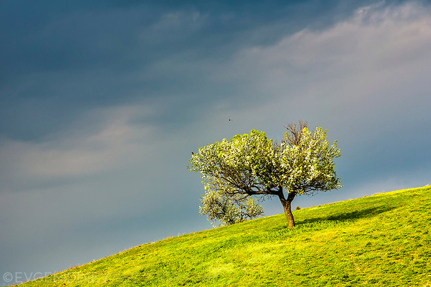 Криво дърво