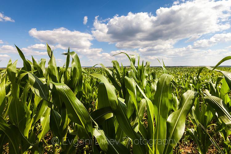Поле с царевица в Добруджа