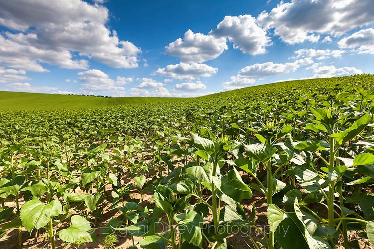 Зелено слънчогледово поле в Добруджа