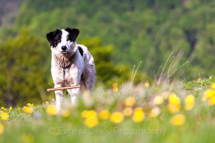 Балканска овчарка