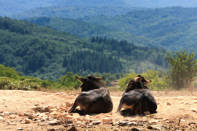 Мързеливи магарета