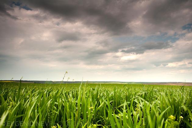 Млада пшеница