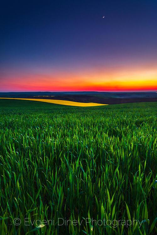 Пролетна пшеница по здрач