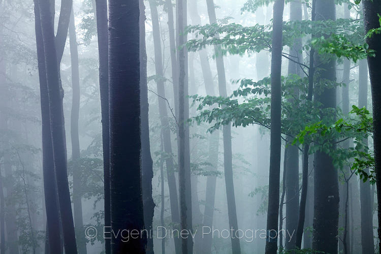 Свежа букова гора в мъгла
