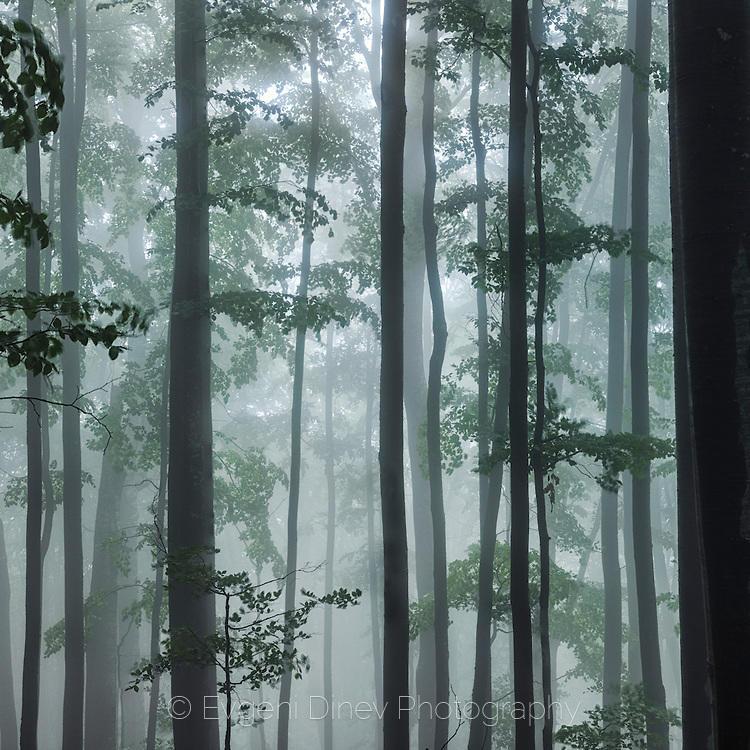 Панорама на пролетна гора в мъгла
