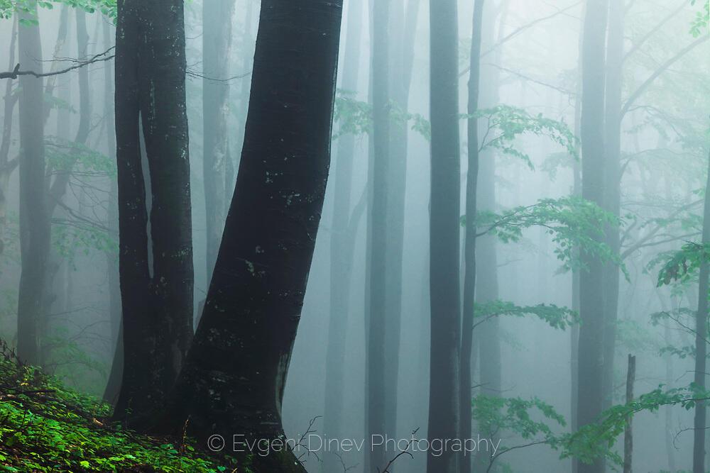 Букова гора в резерват Козя Стена