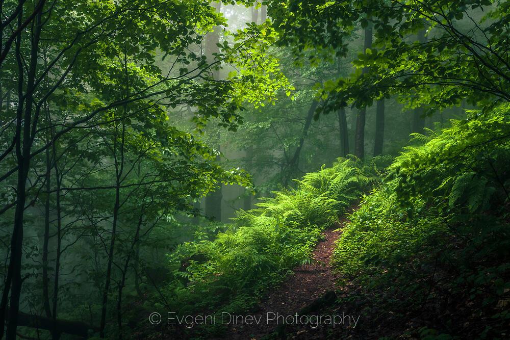 Зелена мъглива гора
