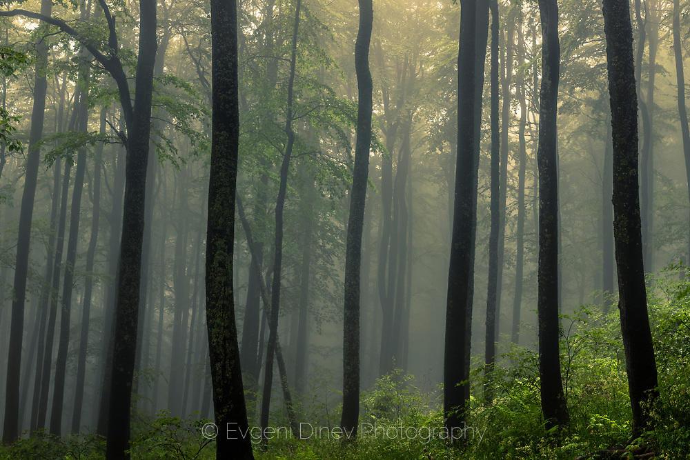 Мъглива пролетна гора