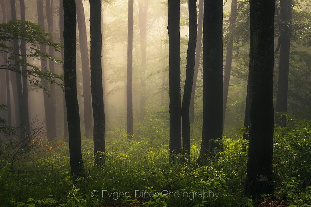 Свежа зелена мъглива гора