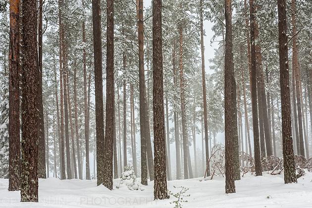 Снежна мъглива гора