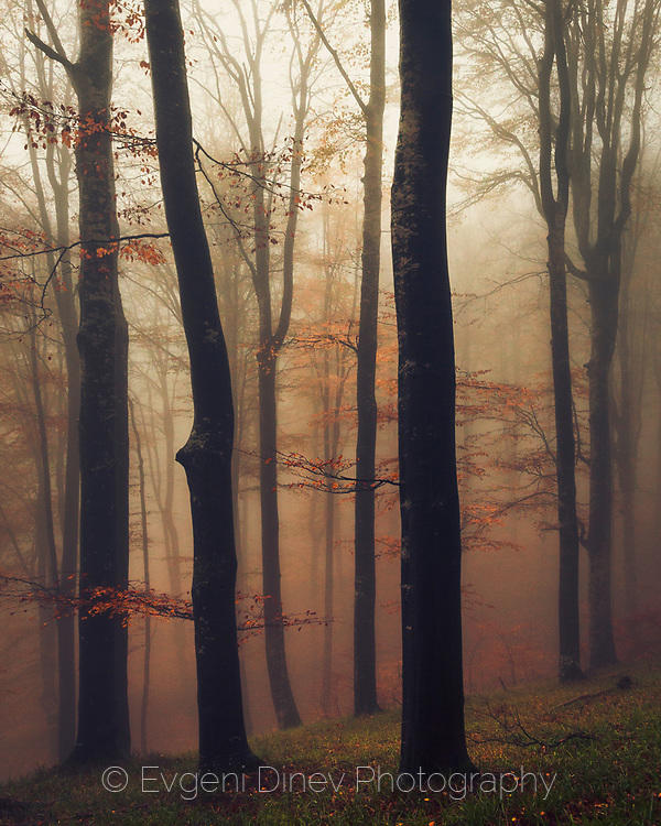 Мъглива есенна букова гора в Стара планина