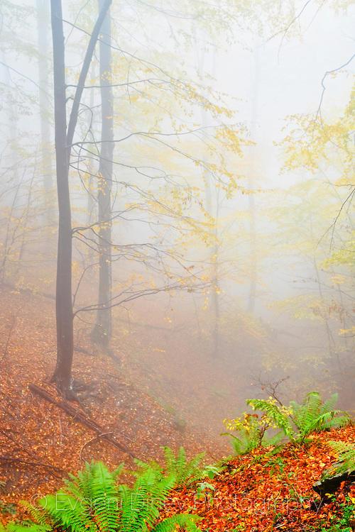 Зелена папрат в мъглива есенна гора