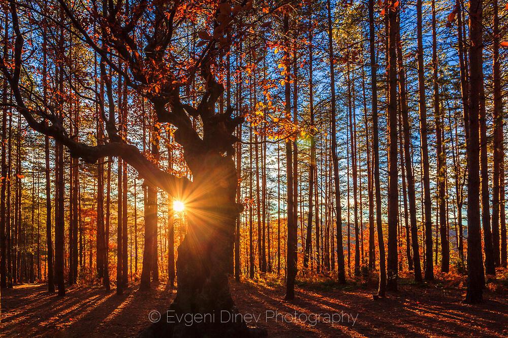 Широколистно дърво обградено от иглолистни