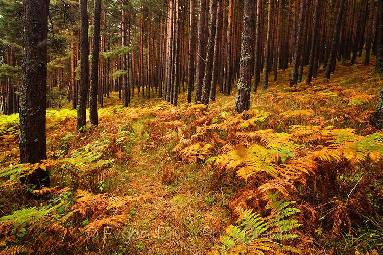 Папрат в баташка гора